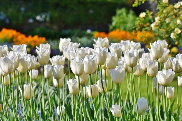 tulips-3406530_960_720